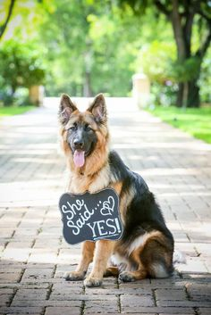 Our German Shepherd assisted us in our engagement shoot. He's so handsome!