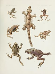 A contribution to the zoögeography of the East Indian islands / - Biodiversity Heritage Library Antique Illustration, Illustration Art, Nature Posters, Paludarium, Frog And Toad, Flora And Fauna, Zoology, Amphibians, Natural History