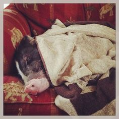 They're expert snugglers.   16 Reasons Pigs Make The Best Pets