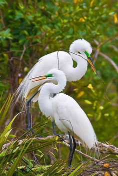 A mating pair of Great Egrets work on building a nest at Gatorland Park in Orlando, Florida.