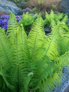乙庭定番!瑞々しい緑色のクルッとした新芽が山菜としてもおなじみのコゴミです。コゴミはクサソテツの名でも知られエレガントな葉とダイナミックな草姿がたいへん魅惑的なシダで、乙庭では園芸植物としても高く評価…