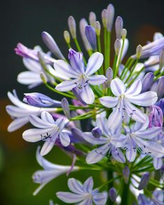 Agapanthus 'Albiflora' XXL clumps - Buy established clumps of white Agapanthus online at Farmer Gracy UK Garden Art, Amazing Flowers, Bulb Flowers, Lavender Blue, Flowers, Serenity Garden, Agapanthus, Umbel, Perennials