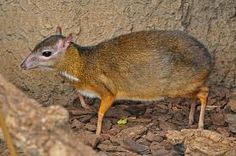 Java Mouse Deer: a hamster sized deer. Mouse Deer, Vertebrates, Pet Tags, Pet Home, Nature Animals, Mammals, Kangaroo, Animal Pictures, Reindeer