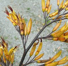 I think this is a phormium cookianum species flax. Flax Flowers, Flax Plant, Native Plants, Exterior Design, Gardening Tips, Outdoor Gardens, Rock And Roll, Planting Flowers, Greenery