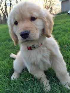 The traits I adore about the Devoted Golden Retriever Puppy Cute Puppy Names, Cute Puppies, Dogs And Puppies, Adorable Dogs, Pets, Pet Dogs, Doggies, Kawaii, Golden Puppy