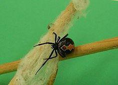 katipo spider