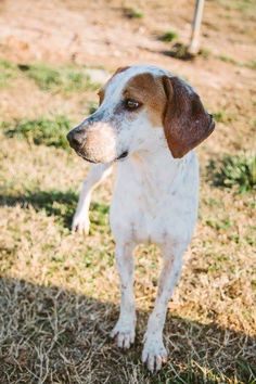 Laverne and Shirley are two redtick sisters from Union County SC.  We can place them together or separately.  These beautiful redtick girls are between 1 and 2 yrs old, about 45 lbs each' They are friendly and enjoy attention from people; very...