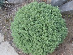 Hebe sutherlandii - a dome shaped evergreen ideal for providing structure