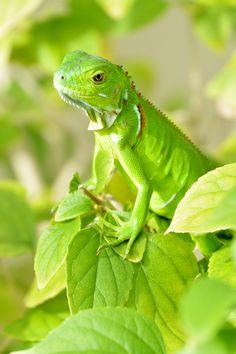 Green Godess.