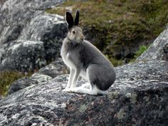 Arctic hare photographed by Tim Rast of Elfshot Gallery
