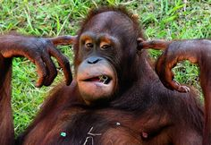 The orangutan is not impressed) - This is the hilarious moment a grumpy orangutan decided to get a bit of peace and quiet - by sticking his fingers in his ears.