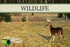 Wildlife Viewing is one of the best reasons to visit the Smokies!  http://www.stonybrooklodging.com/blog/4-reasons-vacation-smoky-mountains-season/