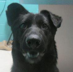 Meet Dejah, an adoptable German Shepherd Dog looking for a forever home. Dejah Dog • German Shepherd Dog Mix • Young • Female • Large Stray Hearts Animal Shelter Taos, NM