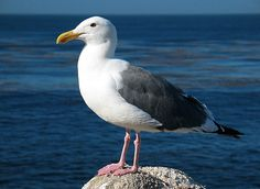Pictures of Seagulls On-Beach | It is hard to take a trip to the beach without seeing seagull like the ...