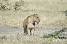 Lion with unusual prey, a mongoose