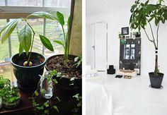 Drømmer du om din egen lille frugthave i stuen? Her er syv frugttræer, som egner sig godt til at blive dyrket indendørs, så du kan nyde friske oliven, avocadoer, citroner og bananer fra din helt egen produktion.