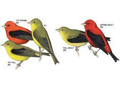 Image result for Scarlet Tanager Female