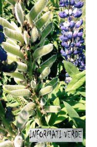 Molte varietà di lupinus si possono riprodurre anche per seme