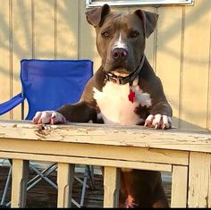 Pit Bulls, Beautiful Dogs, Pictures, Animals, Cute Dogs, Photos, Animales, Animaux, Pit Bull