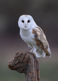 Barn Owl by Karen Summers on 500px