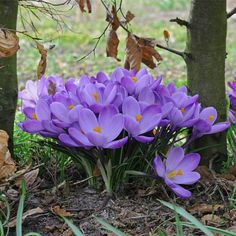 Crocus vernus March 2018 Know What You Grow