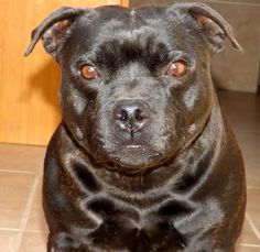 CH Al'MIRA Staffordshire Bull Terrier female Bosphorus Bulls Kennel TÜRKİYE Contact: Facebook/Bosphorus…