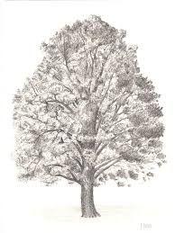 Znalezione obrazy dla zapytania dąb drzewo rysunek