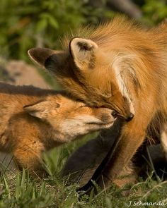 Fox and Kit Snuggling - Photo by Jerry Schmanda. // http://www.algonquinphotography.ca/fox-and-kit-snuggling.html