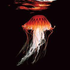 Japanese sea nettle.