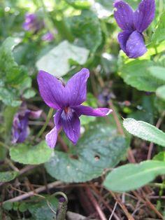 Viola odorata The Czar