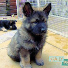 want him! Baby German Shepherds are the cutest.