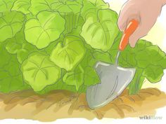 How to Care for Geraniums in the Winter -- via wikiHow.com