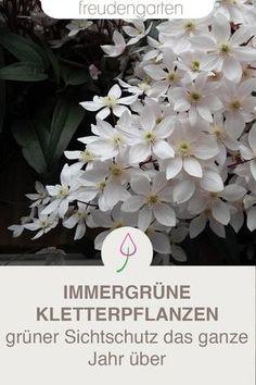 Plantas trepadoras de hoja perenne - Plantar con plantas trepadoras de hoja perenne como pantalla para el jardín, el balcón y la terraz -
