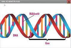 DNA ALTIN ORAN