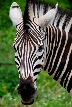 Zebra Face Forward - Kruger National Park, Mpumalanga. I was fortunate to live for a year in Swaziland, which is right next door to South Africa. Kruger was about an two hour's drive from where I worked.