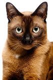 Burmese Kitten - Download From Over 69 Million High Quality Stock Photos, Images, Vectors. Sign up for FREE today. Image: 5759215