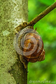 Snail walking along a tree branch