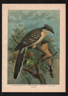 1880 - Häher Kuckuck cuckoo Vogel Vögel bird birds Farblithographie Naumann   eBay