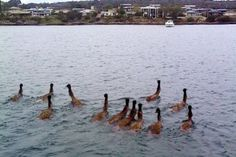 Emus swim across the mouth of Kellidie Bay, near Coffin Bay in South Australia, July Audience submitted: Clint Bradford Australian News, Australian Animals, South Australia, Australia Travel, Coral Castle, Beach Adventure, Southeast Asia, Pet Birds, Animal Kingdom