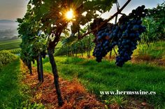 Photo about Grapes in a vineyard in Germany. Image of high, grapes, nature - 20817412 Culture Of France, Thing 1, Photography Articles, In Vino Veritas, Italian Wine, Wine Festival, Lombok, Lush Green, Insta Photo