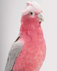Pretty pink and grey pastel cockatoo. Queenie, Galah Cockatoo by Leila Jeffreys Pretty Birds, Love Birds, Beautiful Birds, Animals Beautiful, Pretty In Pink, Cute Animals, Pink Animals, Perfect Pink, Exotic Birds