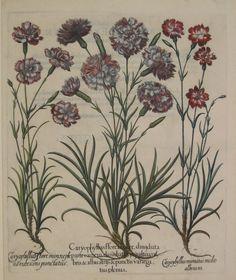 Florist's Carnations by Basil Besler (1561-1629)