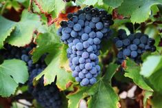 A grape's progress in pictures. This week, the first batch of grapes arrived from Château Corneilla in Rousillon to London's first winery – London Cru in Earls Court