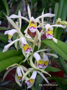 Cattleya iricolor
