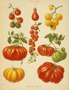 seltene Tomaten