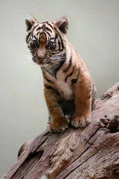 Cute Little Baby Tiger Cub