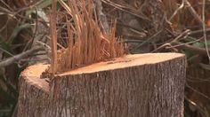 """""""O Grito do Bicho"""": Matéria excelente mostra a tragédia do desmatament..."""