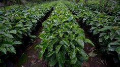 #SmartHealthTalkTopPick: Judge rules against Monsanto in cancer lawsuit.  Former coffee farmer who says Monsanto's Roundup herbicide caused her cancer scored a win last week when a federal judge rejected the company's request to dismiss the case.  Christine Sheppard was diagnosed with non-Hodgkin's lymphoma in 2003, seven years after she started using Roundup at her coffee farm in Hawaii. Judge Michael Seabright decided there was NO 2 yr statute of limitations so case can move forward.