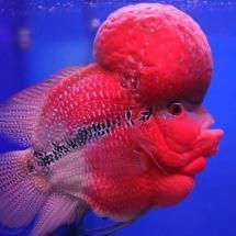 Ornamental Aquarium Fish noted for thier viviv color and distinctively shaped heads.