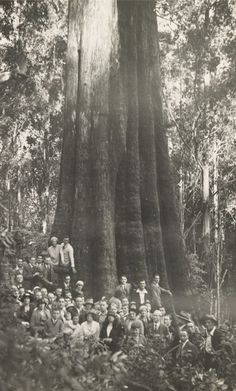 this is a photo of the Furmston Tree, in Central Victoria. It was one of the world's largest Eucalyptus trees, until it collapsed in the late 1990's. (Photo courtesy of State Library of Victoria.)